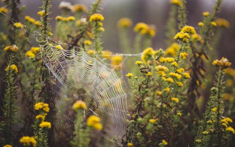 Image of spider's web between yellow flowering plants